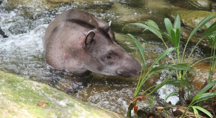 [BIODIVERSITE][FORET_TAPIR]expedition tapir18©C.Lechemia