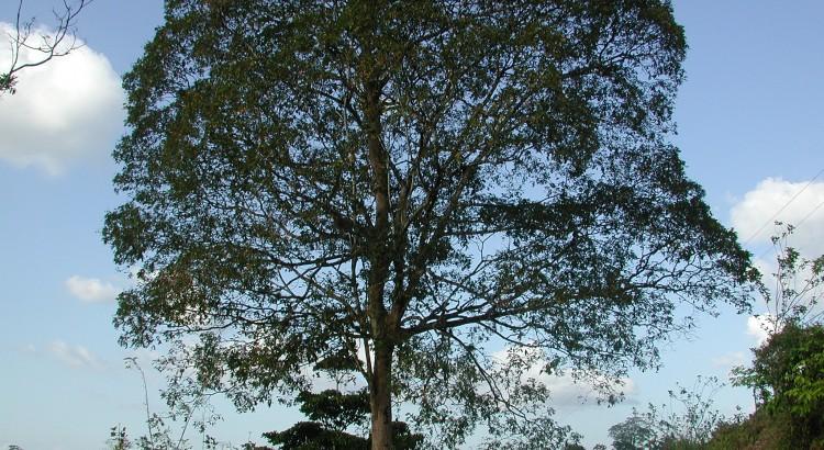 1_Dipteryx_panamensis_DS_1725_Boca_Tapada
