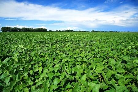 16153922-paysage-rural-avec-des-produits-frais-champ-de-soja-de-soja-vert-champ