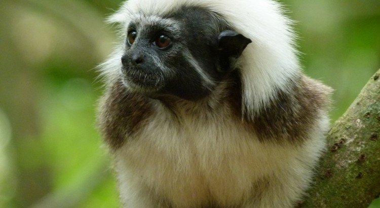 Le singe titi t te blanche envol vert - Le singe d aladdin ...