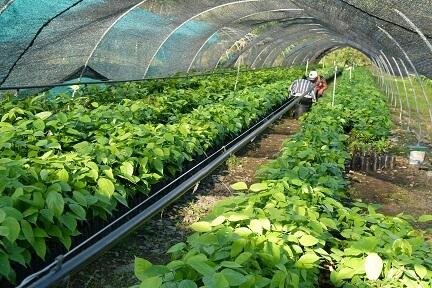 Agroforesterie Pérou pépinière
