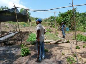 Plantation de noyers maya dans la région de Palomino