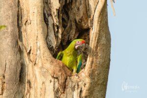 projet_aras_biodiversite_ara_vert_ara_ambiguus01