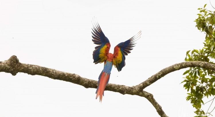 projet_aras_biodiversite_aras rouge_ara_macao7