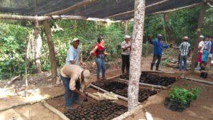 pépinières restauration forestière et noyer maya