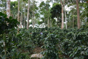 [AGROFO]Parcelle diversifié en agroforesterie_Février 2018@M.SARDA