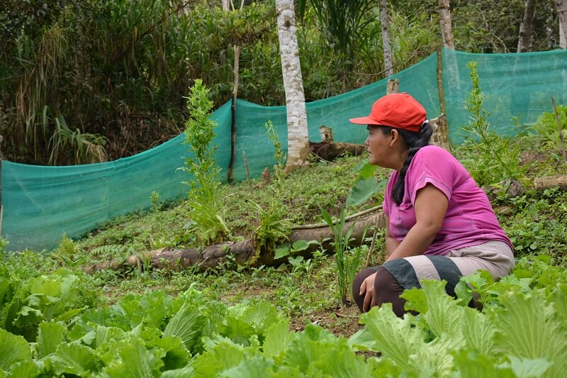 [AGROFO]Production de semence à Pampa Azangaro_Janvier2018@M.SARDA