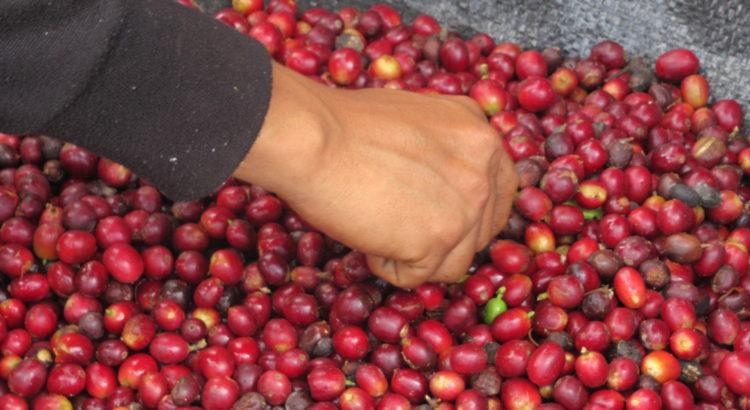 récolte de café