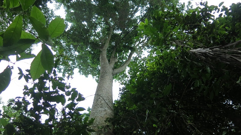 Promote Maya Nut Tree to the world – see the reports