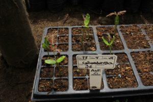 Canandonga germinado en Bandejas de germinacion vivero