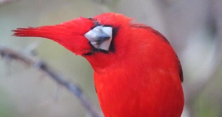 cardenal guajiro